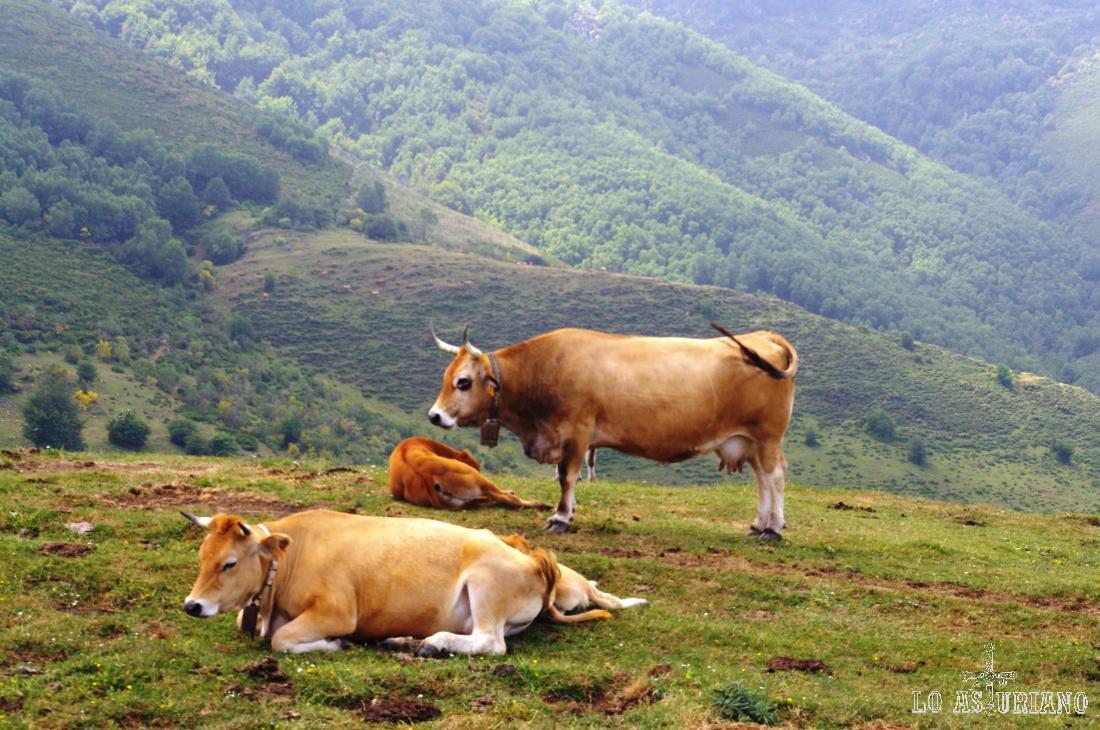 Vacas en los altos de San Lorenzo