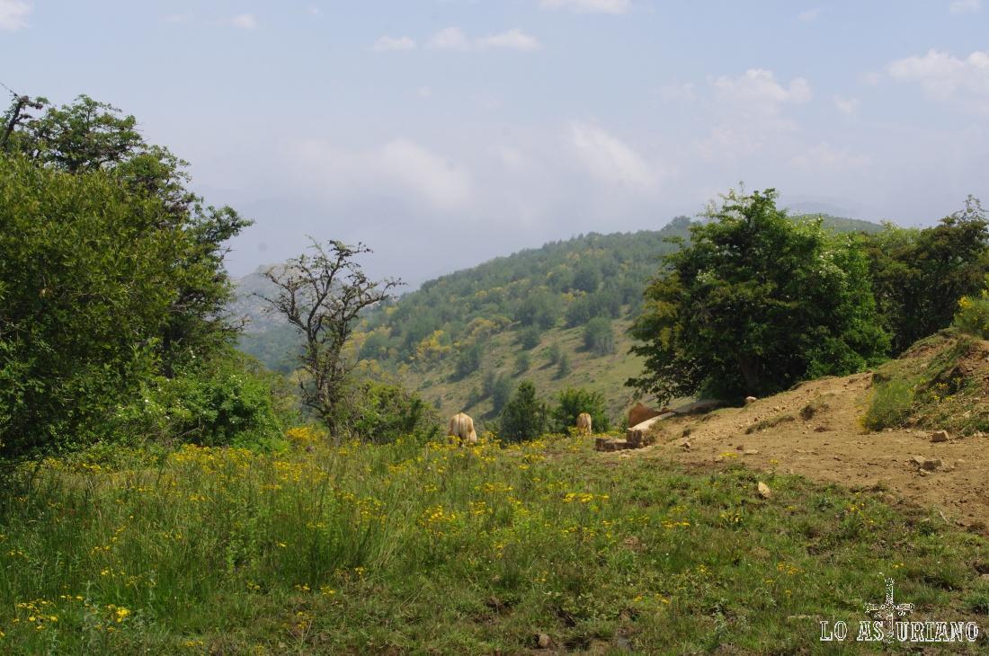 Vacas en la fuente de Teixeu.