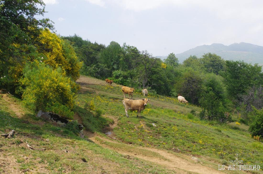 Las vacas nos miran curiosas.