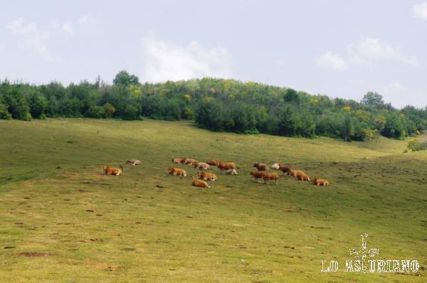 Vacas relajadas en la bonita Vega de Degollada.