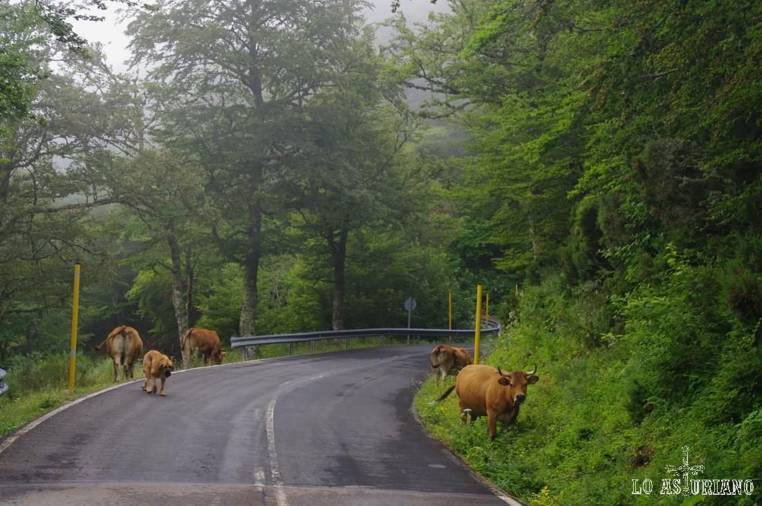 Vacas con el vigilante mastín, cerca del alto de la Ventana.