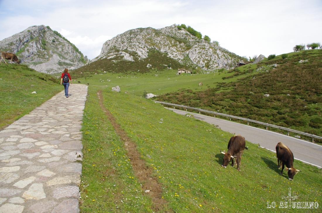 Vacas en los Lagos de Covadonga