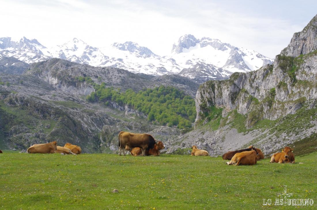 Vacas en la Ercina