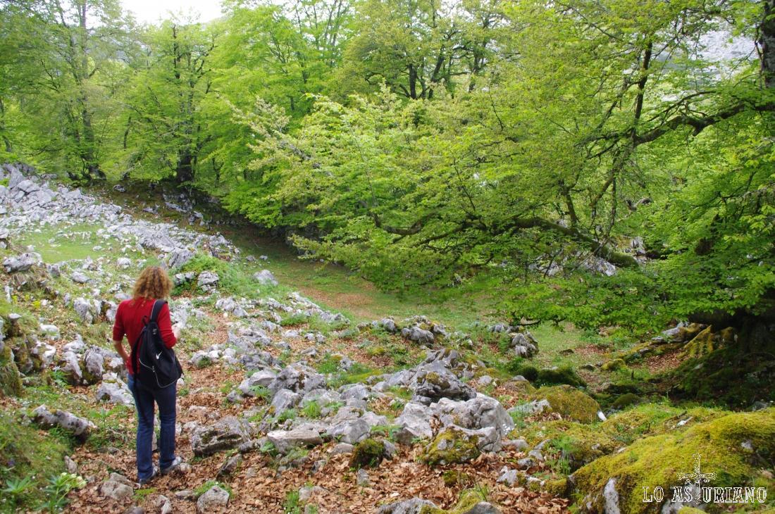 Atravesando el hayedo de Palomberu, dentro de la ruta que recorre los lagos de Covadonga.
