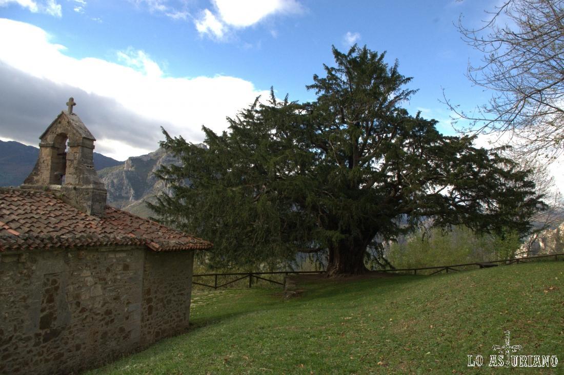 Teixu l´Iglesia, tejo con más de 1000 años de vida, en Bermiego, Quirós.