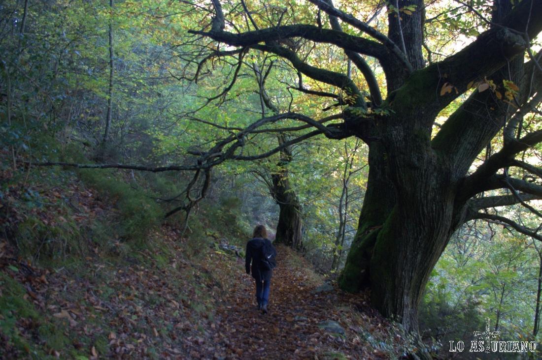 Bosque del Posadoiro, entre Ibias y Degaña.