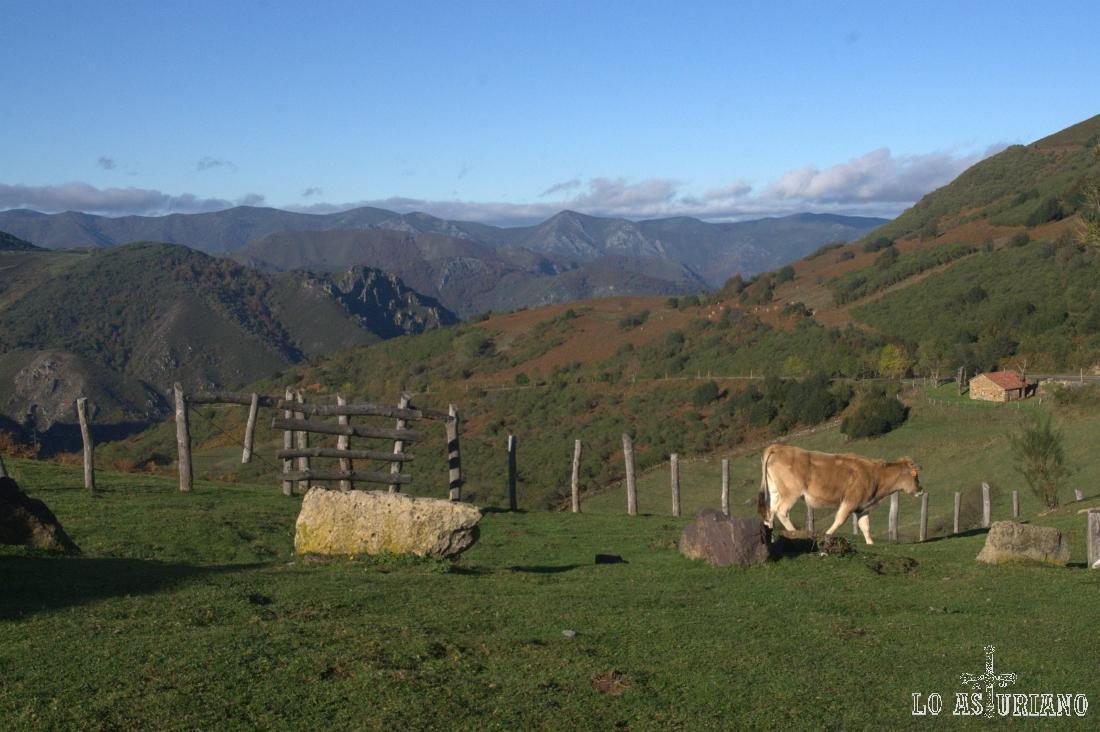 vaquita en el alto de San Lorenzo