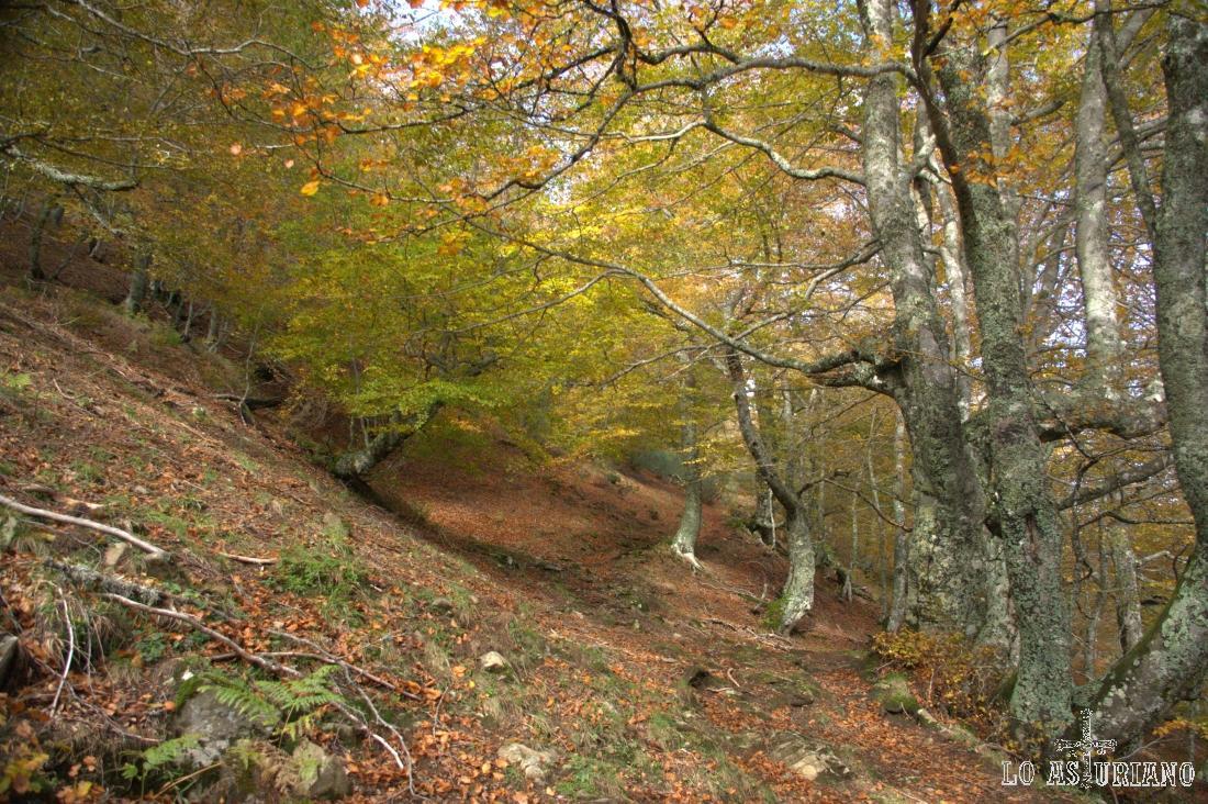 El bosque/hayedo de Fabucado, Parque Natural de Redes.