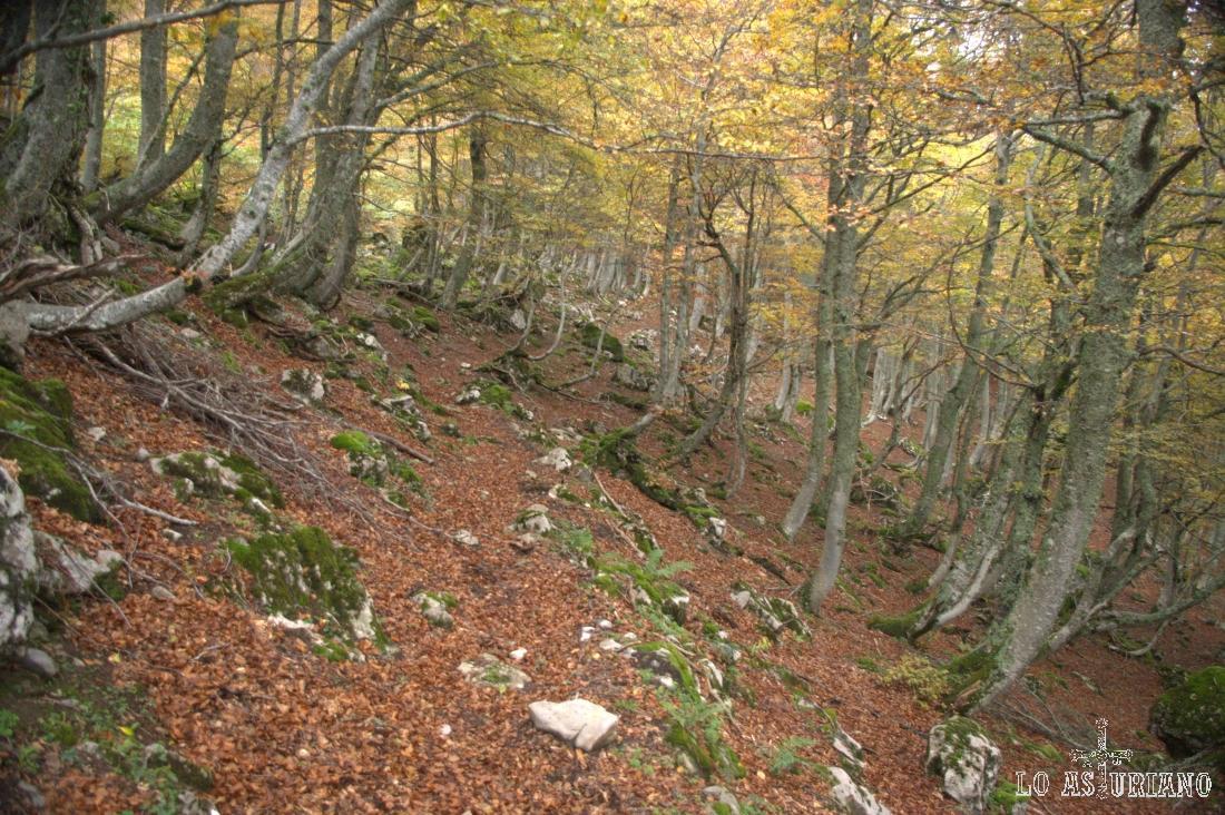 El hayedo suele crecer en laderas sombrías e inclinadas.