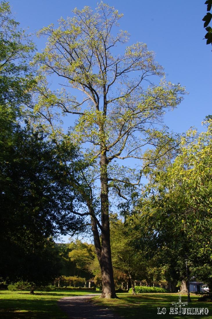 Enorme árbol en el parque Ferrera.