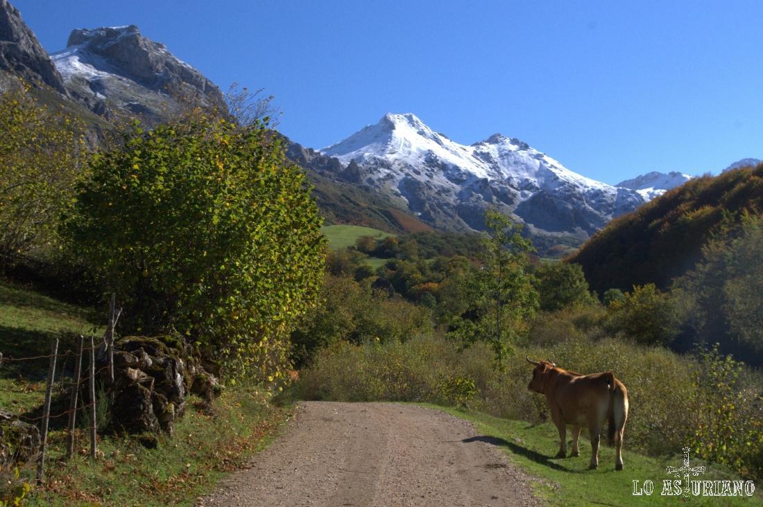 Preciosas montañas nevadas y vaca roxa, en el Parque Natural de Somiedo, paraíso astur.