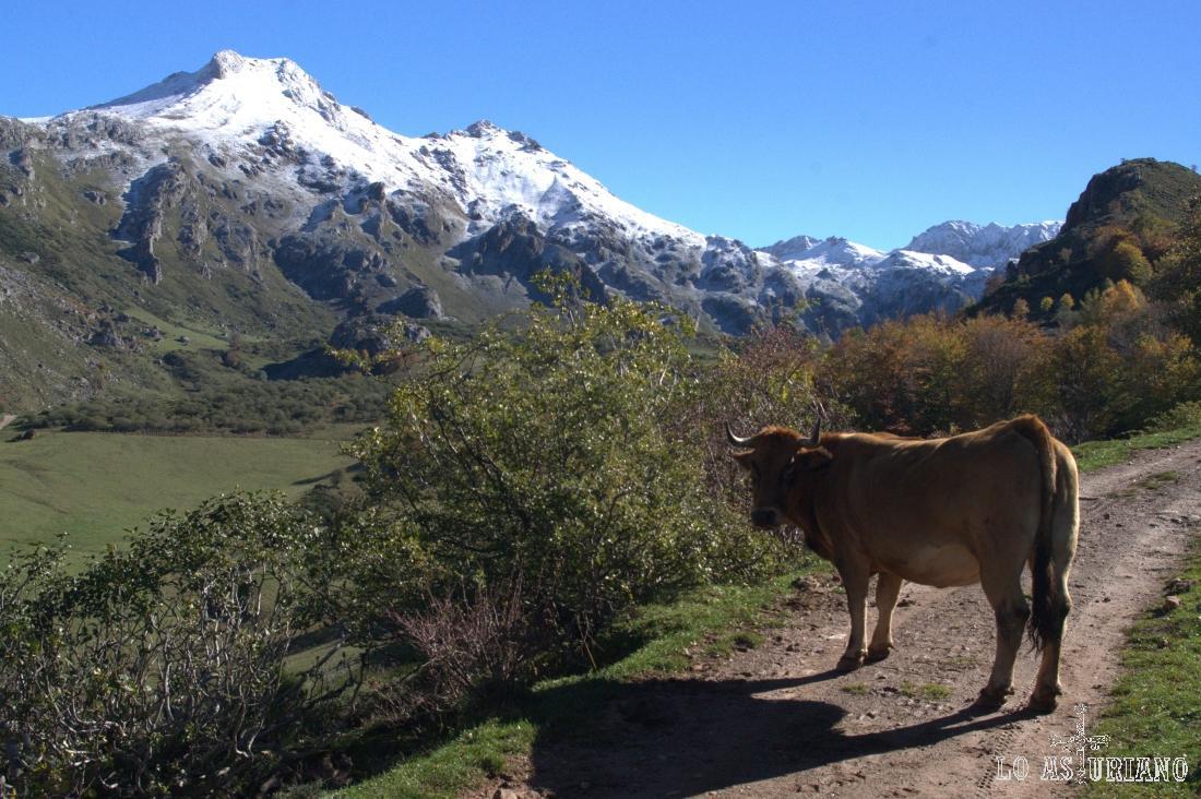 Subiendo hacia el lago, esta vaca se interpone en el camino, inmutable, impasible.