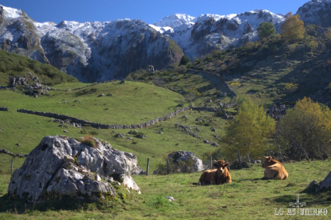 vacas cerca del lago del Valle