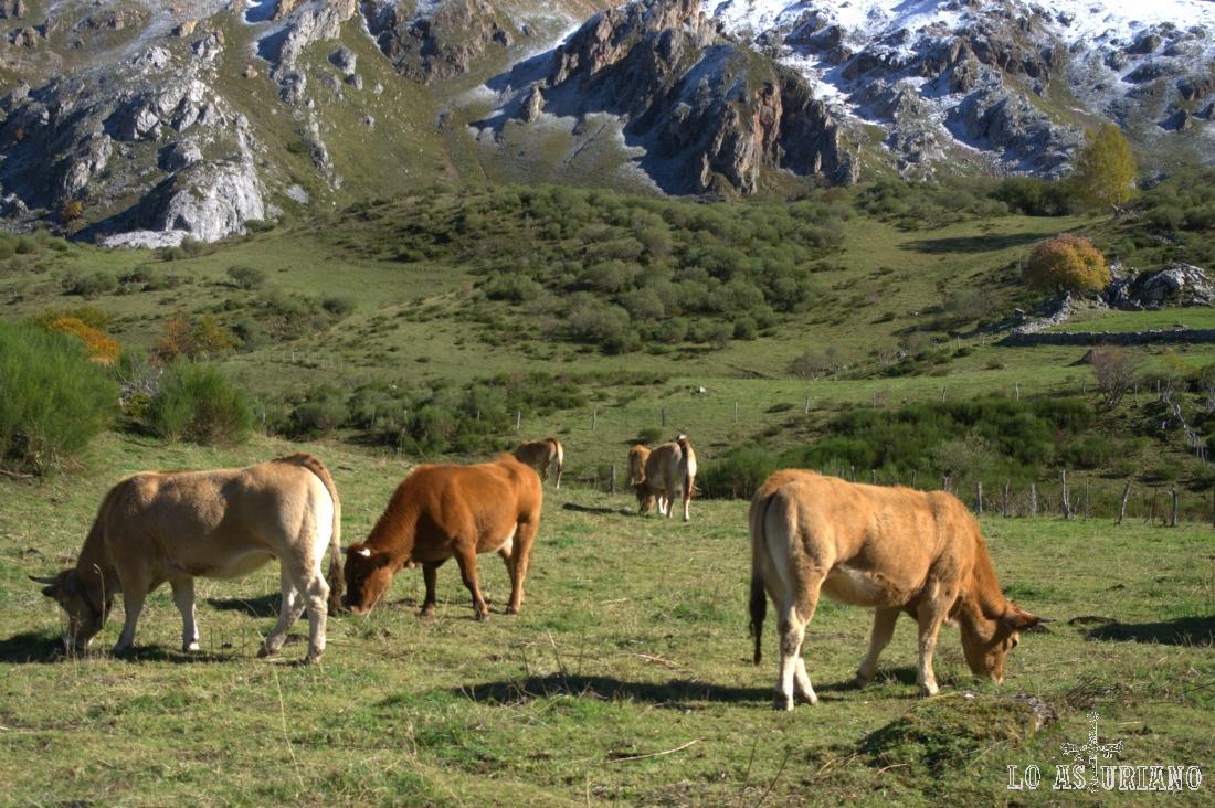 Vacas pastando en las praderas del Lago del Valle.