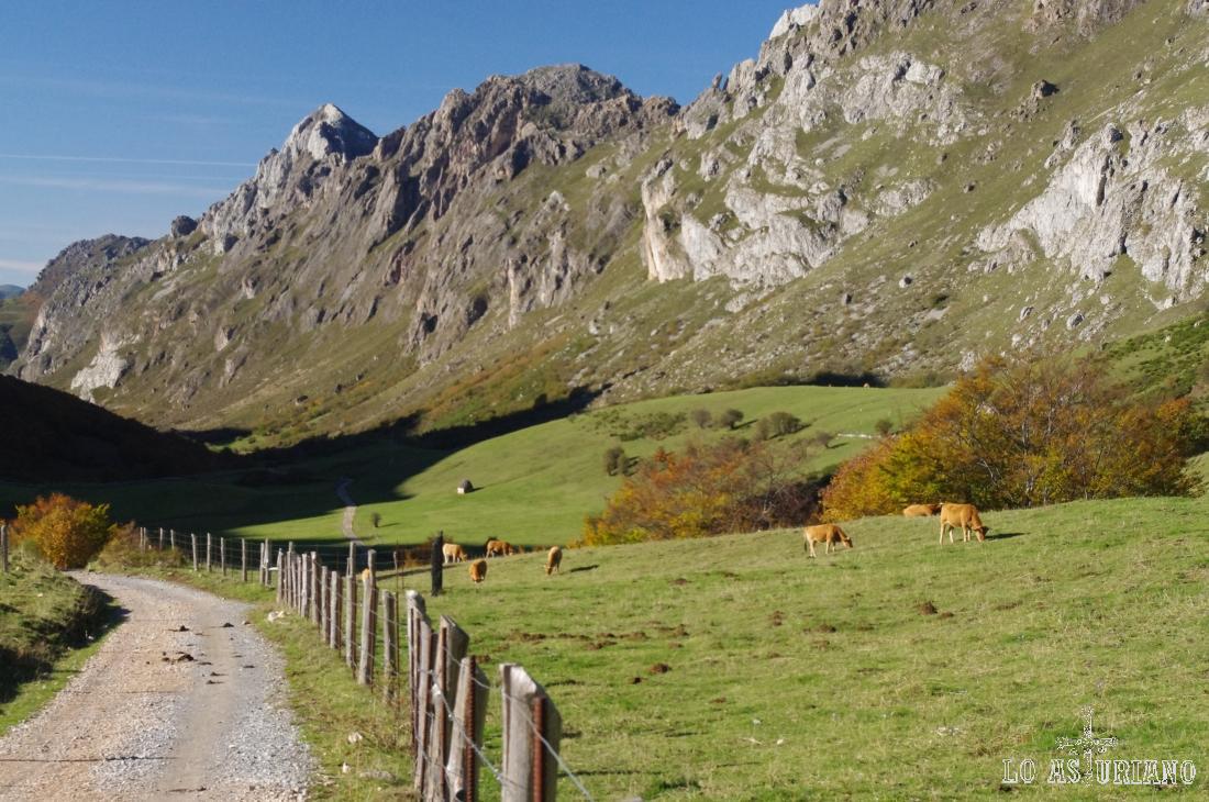 Vacas en los praus entre las brañas de Sobrecueva y Corba.