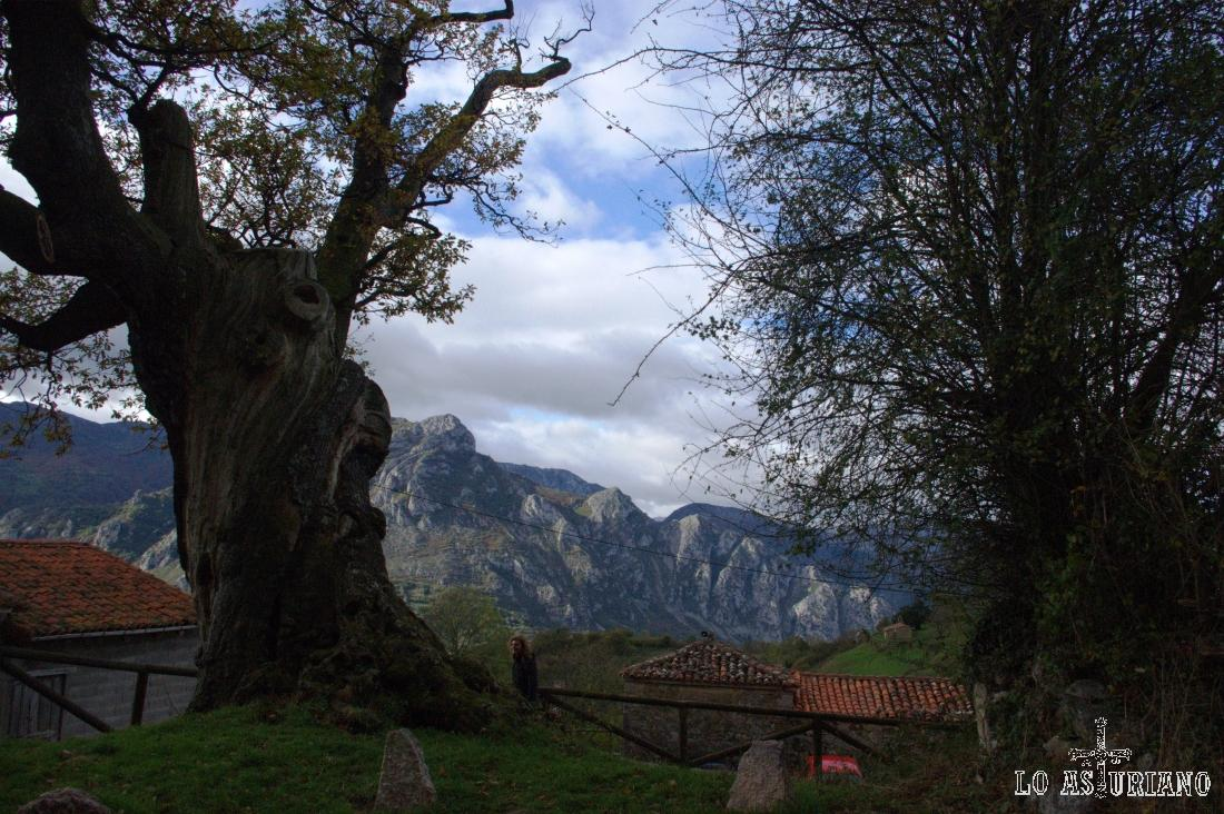 Roble milenario de Bermiego, monumento natural el 27 de abril de 1995. Mide 19 metros de copa, de altura 9,5 metros y de tronco, 5,9 metros de perímetro.