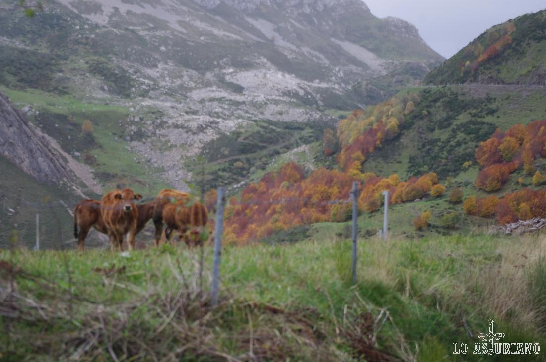 Terneros en La Peral, con la carretera del puerto de Somiedo, Asturias.