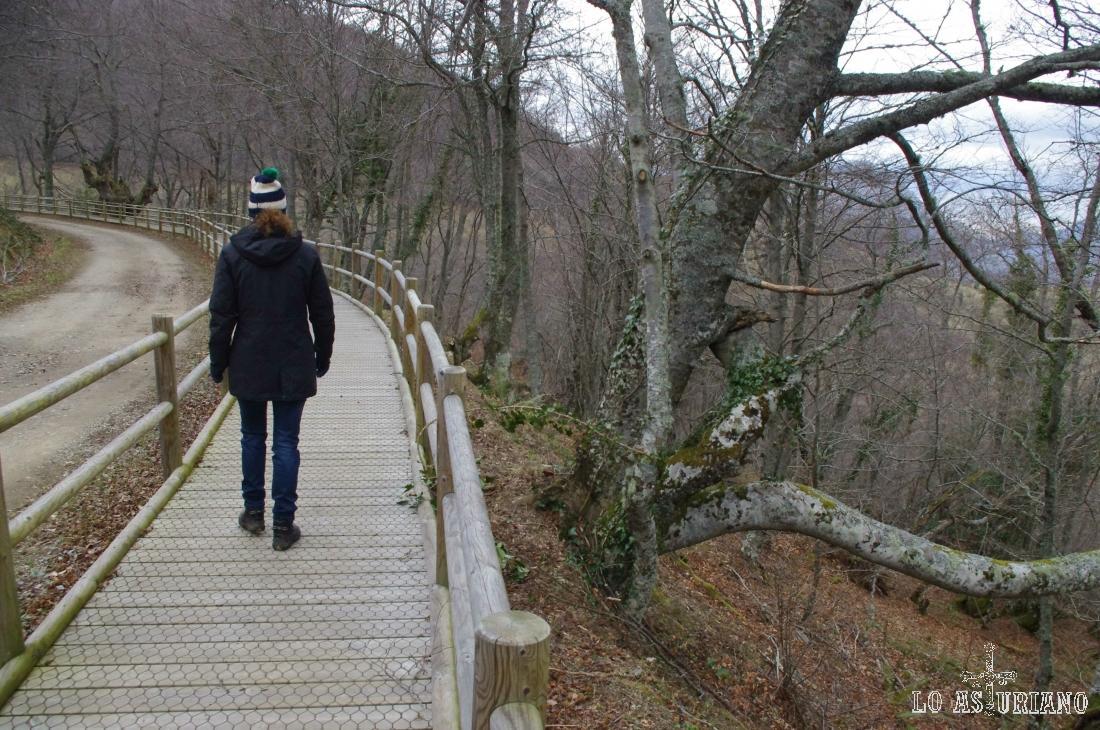 Hermosos ejemplares de haya en el hayedo de Montegrande, uno de los mayores de Asturias.